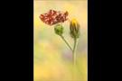 Hochalpen-Perlmutterfalter (Boloria pales) 03