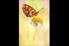 Alpen-Perlmutterfalter (Boloria thore) 01
