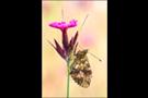 Mädesüß Perlmuttfalter (Brenthis ino) 02