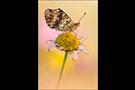 Mädesüß Perlmuttfalter 01 (Brenthis ino)