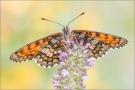 Westalpiner Scheckenfalter (Melitaea varia) 02