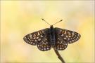 Alpiner Skabiosenscheckenfalter (Euphydryas aurinia debilis) 02