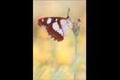 Blauschwarzer Eisvogel (Limenitis reducta) 02