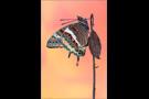 Erdbeerbaumfalter (Charaxes jasius) 01