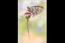 Ähnlicher Perlmutterfalter (Boloria napaea) 03