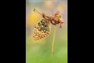 Großer Perlmutterfalter 01 (Argynnis aglaja)