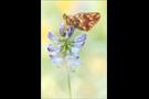 Hochalpen-Perlmutterfalter (Boloria pales) 09