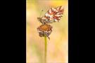 Hochalpen-Perlmutterfalter (Boloria pales) 02