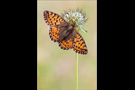 Hochalpen-Perlmutterfalter (Boloria pales) 06