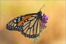 Monarchfalter 02 (Danaus plexippus)