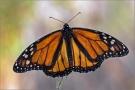 Monarchfalter 01 (Danaus plexippus)
