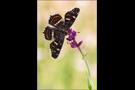 Landkärtchenfalter 02 (Araschnia levana)