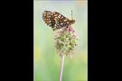 Westlicher Scheckenfalter 01 (Melitaea parthenoides)