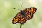 Flockenblumen-Scheckenfalter 03 (Melitaea phoebe)