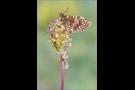 Westlicher Scheckenfalter 03 (Melitaea parthenoides)