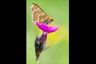 Goldener Scheckenfalter 02 (Euphydryas aurinia)