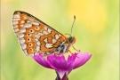Goldener Scheckenfalter 03 (Euphydryas aurinia)