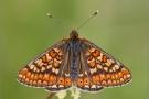 Goldener Scheckenfalter 04 (Euphydryas aurinia)