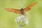 Goldener Scheckenfalter 01 (Euphydryas aurinia)