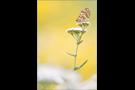 Roter Scheckenfalter 02 (Melitaea didyma)