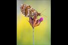 Westlicher Scheckenfalter 06 (Melitaea parthenoides)