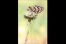 Roter Scheckenfalter 01 (Melitaea didyma)