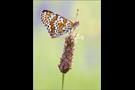 Wegerich-Scheckenfalter 01 (Melitaea cinxia)