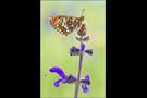Westlicher Scheckenfalter 05 (Melitaea parthenoides)