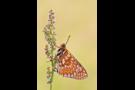 Goldener Scheckenfalter 06 (Euphydryas aurinia)