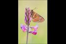 Goldener Scheckenfalter 08 (Euphydryas aurinia)