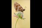 Ehrenpreis-Scheckenfalter 02 (Melitaea aurelia)