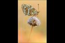 Flockenblumen-Scheckenfalter 04 (Melitaea phoebe)