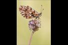 Magerrasen-Perlmutterfalter (Boloria dia) 02
