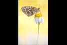 Flockenblumen-Scheckenfalter 01 (Melitaea phoebe)