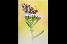 Ehrenpreis-Scheckenfalter 01 (Melitaea aurelia)