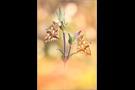 Kleiner Perlmutterfalter (Issoria lathonia) 06