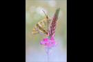 Kaisermantel (Argynnis paphia) 02