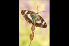 Kleiner Eisvogel 01 (Limenitis camilla)