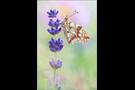 Kleiner Perlmutterfalter (Issoria lathonia) 05