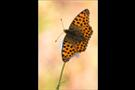 Kleiner Perlmutterfalter (Issoria lathonia) 03