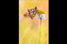 Kleiner Perlmuttfalter (Issoria lathonia) 02
