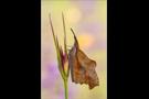 Zürgelbaum-Schnauzenfalter (Libythea celtis) 01