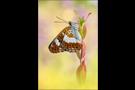 Kleiner Eisvogel 02 (Limenitis camilla)