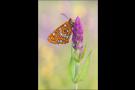 Maivogel (Euphydryas maturna) 01