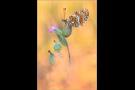 Wegerich-Scheckenfalter 06 (Melitaea cinxia)