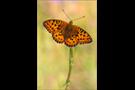 Mittlerer Perlmutterfalter (Argynnis niobe) 02