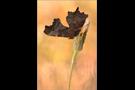 C-Falter (Nymphalis c-album) 03