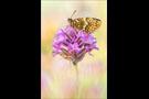 Östlicher Scheckenfalter (Melitaea britomartis) 03