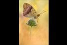 Östlicher Perlmutterfalter (Argynnis laodice) 01