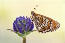 Westlicher Scheckenfalter 07 (Melitaea parthenoides)